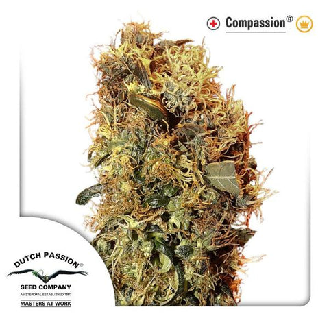 Dutch Passion Seeds - CBD ComPassion - The JuicyJoint