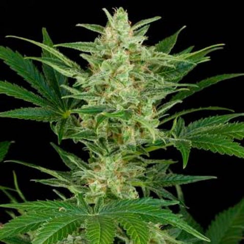 Dinafem - Critical Jack Auto - The JuicyJoint