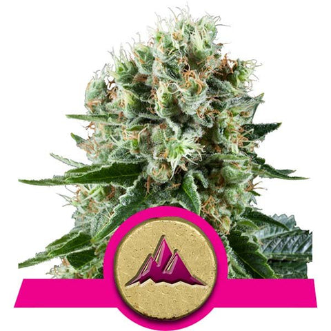 Royal Queen Seeds - Critical Kush - The JuicyJoint