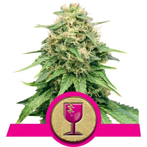 Royal Queen Seeds - Critical - The JuicyJoint