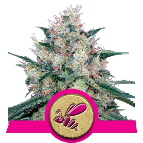 Royal Queen Seeds - Honey Cream Fast Version - The JuicyJoint
