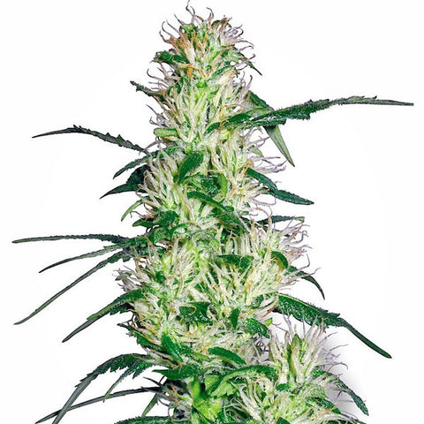 White Label Seeds - Purple Haze