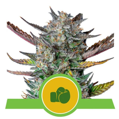 Royal Queen Seeds - Purple Punch Automatic