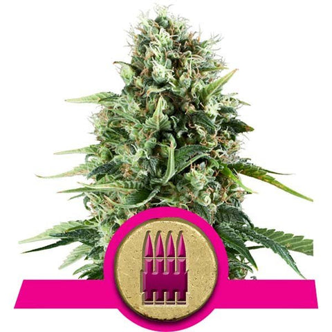 Royal Queen Seeds - Royal AK - The JuicyJoint