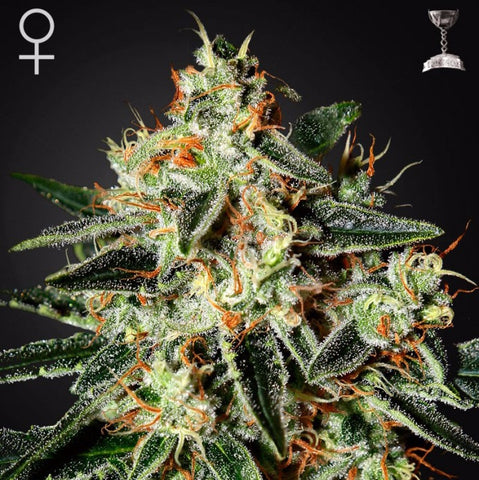 Green House Seeds - GH Cheese