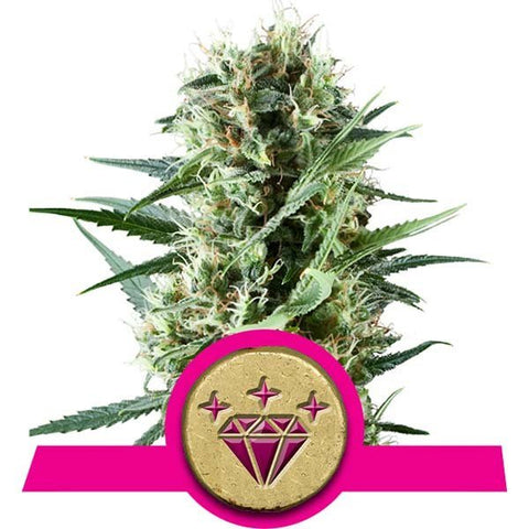 Royal Queen Seeds - Special Kush #1 - The JuicyJoint