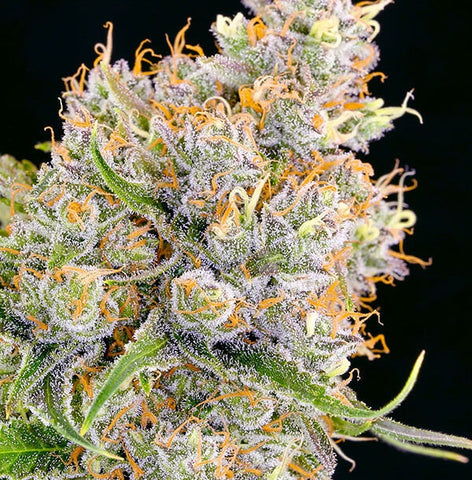 Anesia Seeds - Future #1