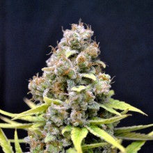 CBD Crew - CBD Shark - The JuicyJoint
