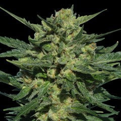 Serious Seeds - White Russian Auto - The JuicyJoint