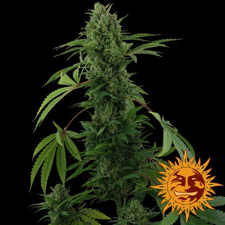 Barneys Farm Seeds - Pineapple Express Automatic - The JuicyJoint