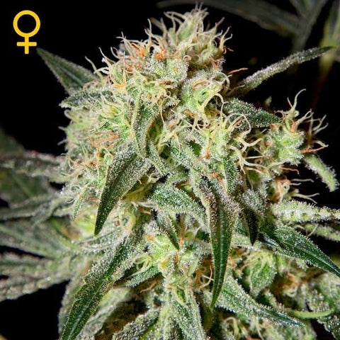 Green House Seeds - Damn Sour - The JuicyJoint