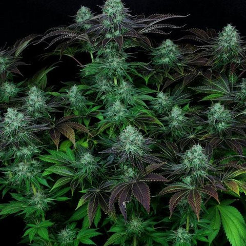 T.H. Seeds - Dark Star Kush
