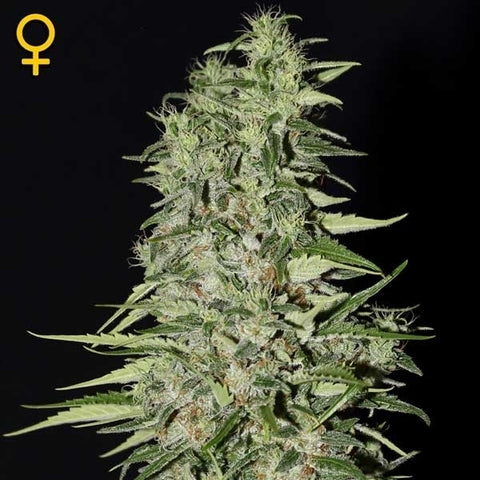 Green House Seeds - Diamond girl - The JuicyJoint