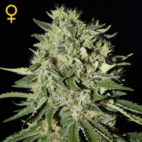 Green House Seeds - The Doctor - The JuicyJoint