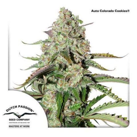 Dutch Passion Seeds - Colorado Cookies Auto - The JuicyJoint