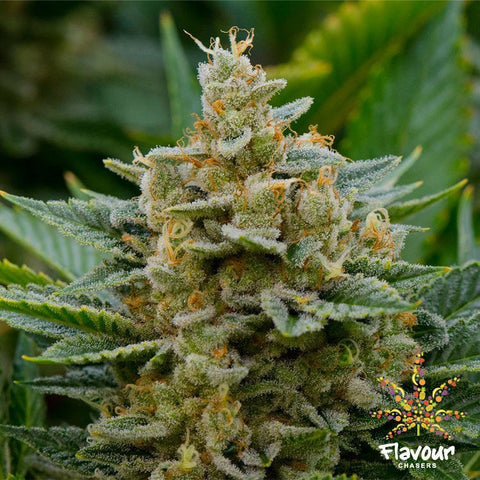 Flavour Chasers Seeds - Stardawg