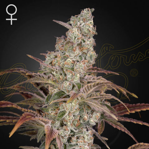 Green House Seeds - Jacks Dream
