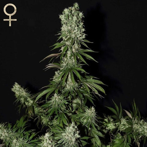SALE!! Strain Hunters Seeds -  White Strawberry Skunk