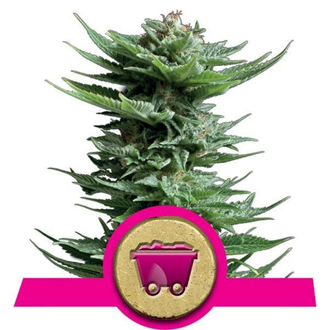 Royal Queen Seeds - Shining Silver Haze - The JuicyJoint