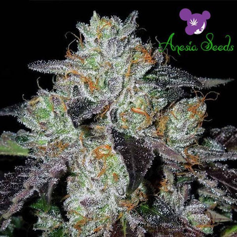 Anesia Seeds - Purple Domina