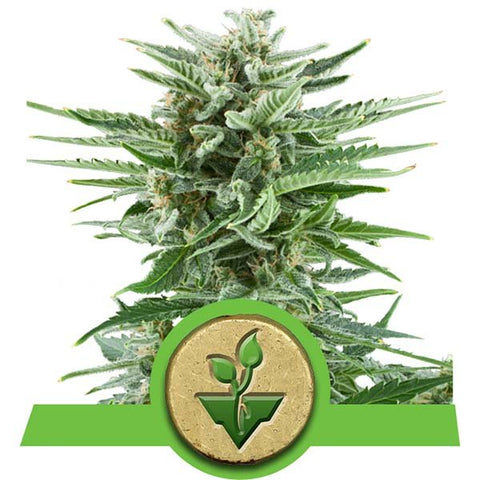 Royal Queen Seeds - Easy Bud - The JuicyJoint