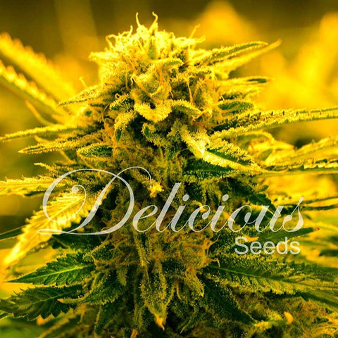Delicious Seeds - Sugar Black Rose Auto - The JuicyJoint
