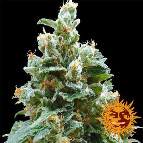 Barneys Farm Seeds - Vanilla Kush - The JuicyJoint