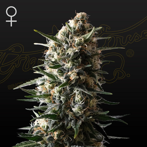 Green House Seeds - Bubba Slush