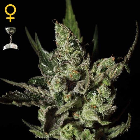 Green House Seeds - Exodus Cheese - The JuicyJoint