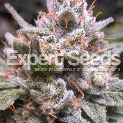 Expert Seeds - Gorilla Glue #4 Automatic - The JuicyJoint