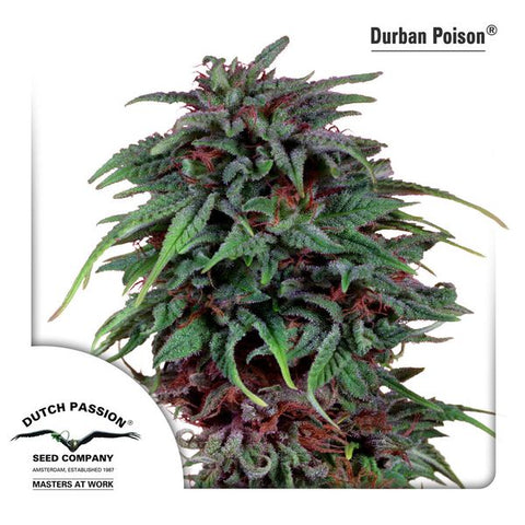 Dutch Passion - Durban Poison - The JuicyJoint