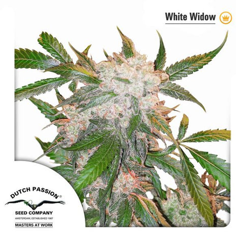 Dutch Passion - White Widow - The JuicyJoint