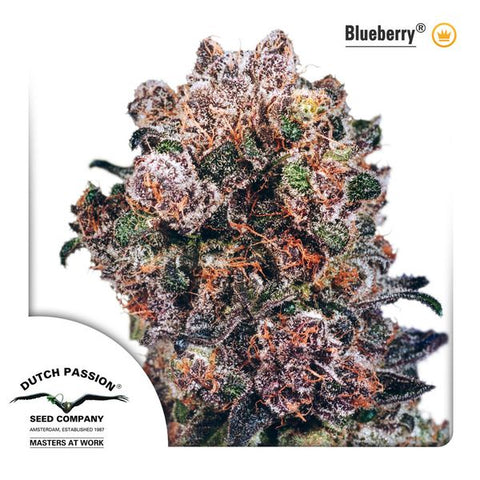 Dutch Passion - Blueberry - The JuicyJoint