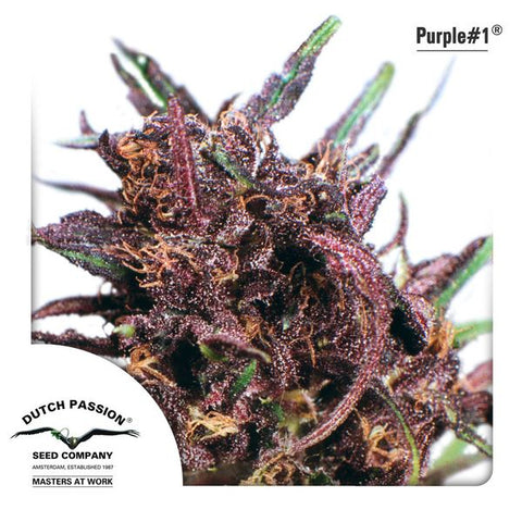 Dutch Passion - Purple #1 - The JuicyJoint