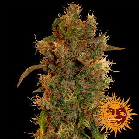 Barneys Farm Seeds - 8 Ball Kush - The JuicyJoint