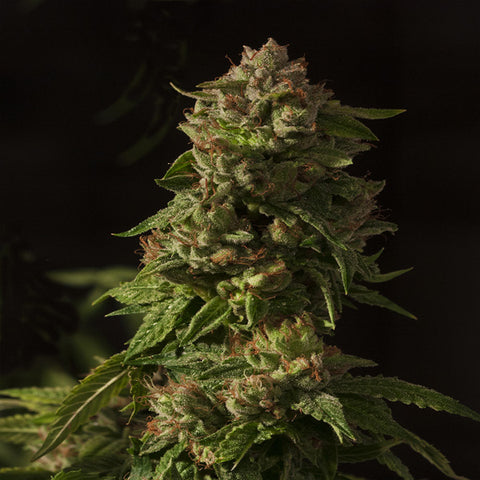 Devils Harvest Seeds - Fallen Angel - The JuicyJoint