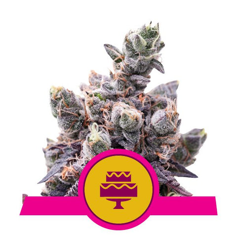 Royal Queen Seeds - Wedding Gelato