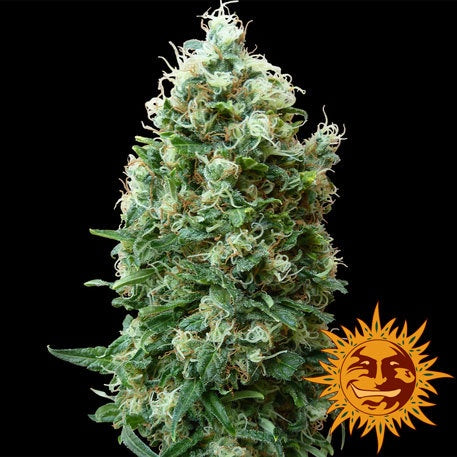 Barneys Farm Seeds - Phatt Fruity - The JuicyJoint