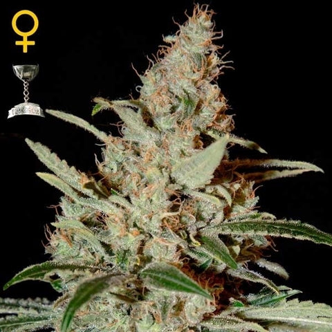 Green House Seeds - Chemdog - The JuicyJoint