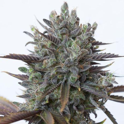 Dinafem Seeds - Purple Orange CBD - The JuicyJoint