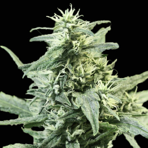 Devils Harvest Seeds - Golden Haze - The JuicyJoint