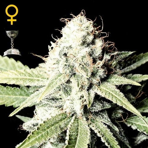 Green House Seeds - Great White Shark - The JuicyJoint