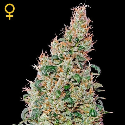 Green House Seeds - Green O Matic - The JuicyJoint