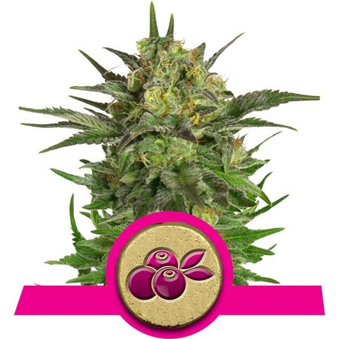 Royal Queen Seeds - Haze Berry - The JuicyJoint