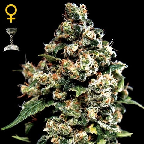 Green House Seeds - Jack Herer - The JuicyJoint