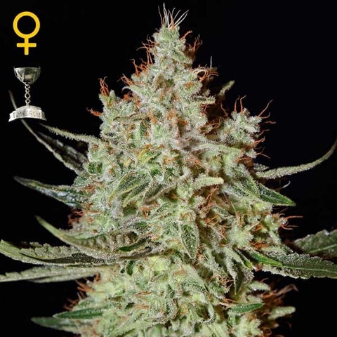 Green House Seeds - K-train - The JuicyJoint