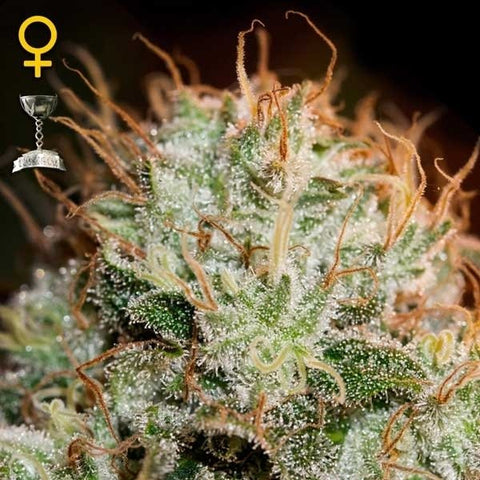 Green House Seeds - Kaia Kush - The JuicyJoint