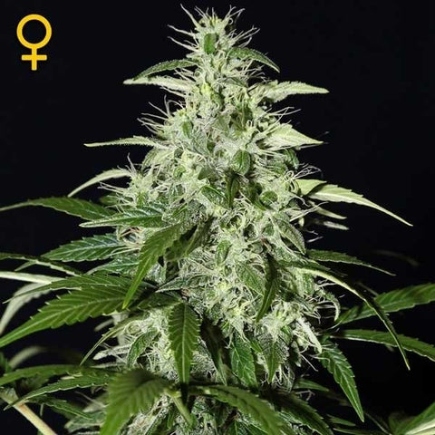 Green House Seeds - Kalashnikova Auto - The JuicyJoint