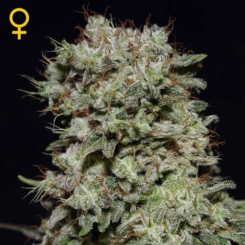 Green House Seeds - Kalashnikova - The JuicyJoint