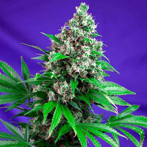 Sweet Seeds - Killer Kush Fast